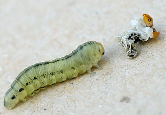 Diprion pini - Image: Diprion pini metamorphosis A 02 larva after its last moulting exuvia