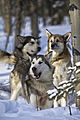 Dog Sled Rides (6982733595).jpg