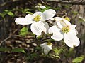 Dogwood Cornus florida flowers close.jpg