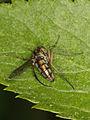 Dolchipodidae (Diptera) (9542535215).jpg