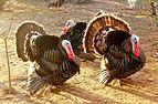Domesticated turkey.jpg