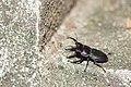 Dorcus titanus sika (44694000134).jpg