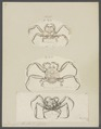 Dorippe lanata - - Print - Iconographia Zoologica - Special Collections University of Amsterdam - UBAINV0274 096 01 0005.tif