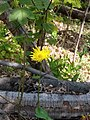 Doroncium sp. Asteraceae 01.jpg