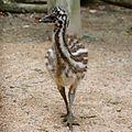 Dromaius novaehollandiae -Satsukiyama Zoo -Osaka -Japan-8a-2c.jpg