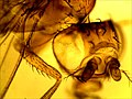 Drosophila 60.jpg