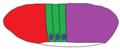 Drosophila Thoracic Imaginal Plates.png