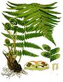 Папоротник Dryopteris filix-mas.  Köhler's Medizinal-Pflanzen.