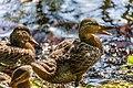Duck (43482884094).jpg
