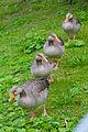Ducks at Slottsskogen.jpg