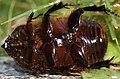 Dynastine scarab beetle - male. (5531429880).jpg