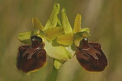 Early Spider Orchid flowers - geograph.org.uk - 804520.jpg