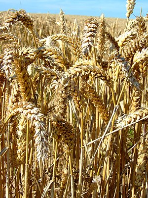 English: Ears of wheat Close up shot of the so...