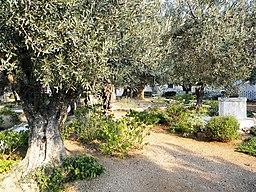 East Jerusalem, Olive Mountain (Gethsimani Garden); 11-3000-100 (3)