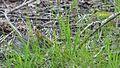 Eastern Cottontail (Sylvilagus floridanus), Juvenile - Guelph, Ontario.jpg