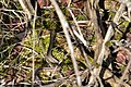 Eastern Garter Snake (Thamnophis sirtalis sirtalis) - London, Ontario 2015-04-12 (01).jpg