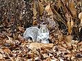 Eastern Gray Squirrel 4a (b).jpg