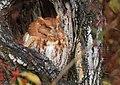 Eastern Screech Owl (31443072835).jpg