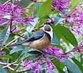 Eastern Spinebill. Acanthorhynchus tenuirostris - Flickr - gailhampshire (1).jpg