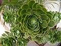 Echeveria derenbergii.jpg