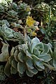 Echeveria derenbergii kz02.jpg