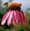 Echinacea mit Biene.jpg
