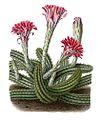 Echinocereus scheeri BlKakteen Tafel 14.jpg