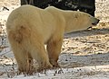 Eclair the polar bear (6356252583).jpg