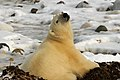 Eclair the polar bear (6356874203).jpg