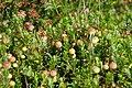 Ecomare - cranberry in de duinen (cranberry-duinpark-sd).jpg