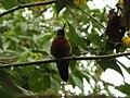 Ecuador Hummingbird red 5548.jpg