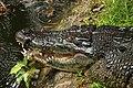 Ee crocodile cebu zoo 2a.jpg