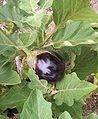 Eggplant (Fruit).jpg