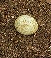 Ei van een Buizerd (Buteo buteo) 01.jpg