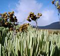 Eidelweiss di Padang Suryakencana.jpg