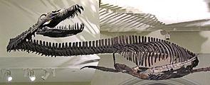 Elasmosaurus, Skelettrekonstruktion im Canadian Museum of Nature in Ottawa