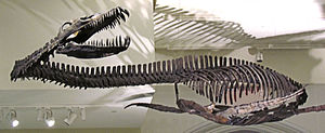 Elasmosaurus, Skelettrekonstruktion im Canadian Museum of Nature in Ottawa