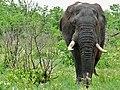 Elephant (Loxodonta africana) (6044811753).jpg