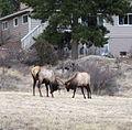 Elk-dueling-EstesPark-Colo.jpg