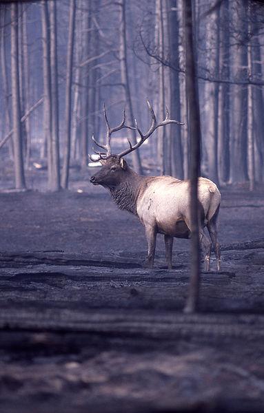 File:Elk in burned area.jpg