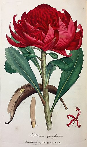 A Specimen of the Botany of New Holland - James Sowerby's plate of Embothrium speciosissimum, now Telopea speciosissima (New South Wales Waratah)