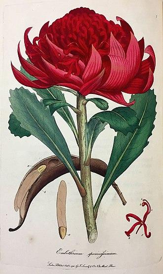 Telopea speciosissima - Image: Embothrium speciosissimum (Sowerby)