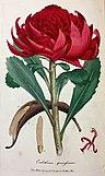 Embothrium speciosissimum (Sowerby).jpg