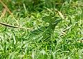 Emerald Basilisk (49562055527).jpg