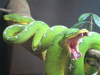 Emerald tree boa - Emerald tree boas in the living collections of the North Carolina Museum of Natural Sciences in Raleigh, North Carolina, pictured shortly after feeding