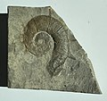 Emericiceras emerici aus de Clumanc, Basses Alpes, Frankreich, Cenomanium (Exemplar aus dem Naturkunde Museum Berlin).jpg