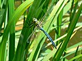 Emperor Dragonfly, Plaum's Pit, Cheney Manor, Swindon - geograph.org.uk - 456614.jpg
