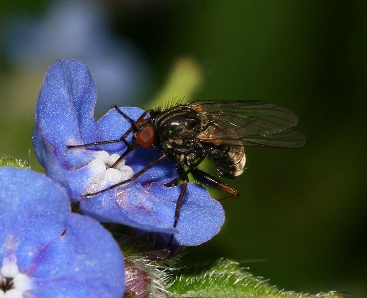 File:Empis species - Flickr - S. Rae (1).jpg