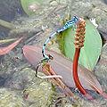 Enallagma cyathigerum pairing 10317.jpg