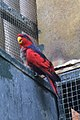 Eos histrio -ZooParc de Beauval, France-6a.jpg